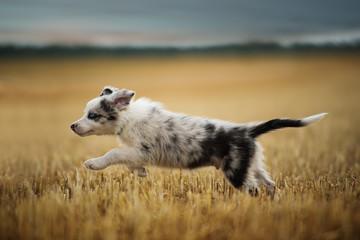 Running border collie puppy in a stubblefield