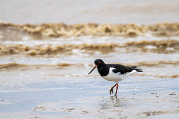 Oyster catcher (Haematopus ostralegus) searching for food along the mud flat coastline of Bradwell on Sea, Essex, UK
