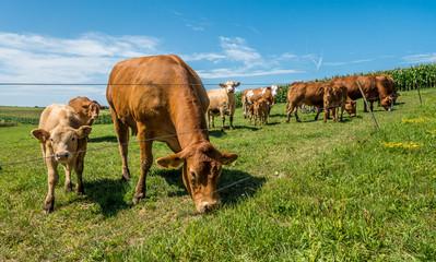 Wall Mural - Kühe auf der Weide