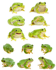 Fototapete - European tree frog - Hyla arborea isolated - collection