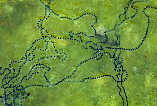 Strands of American toad (Bufo americanus) eggs on surface of pond. A mat of green algae lies beneath them.