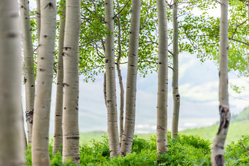 Snodgrass trail forest edge in Mount Crested Butte, Colorado in National Forest park mountains with closeup green aspen trees in summer