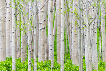 Aspen forest trees pattern in summer in Snodgrass trail in Mount Crested Butte, Colorado in National Forest park mountains with green color