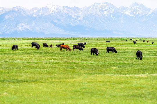 Southwest Colorado Highway 285 with rural countryside farm pasture and cows near Center and Monte Vista and view of Rocky Mountains