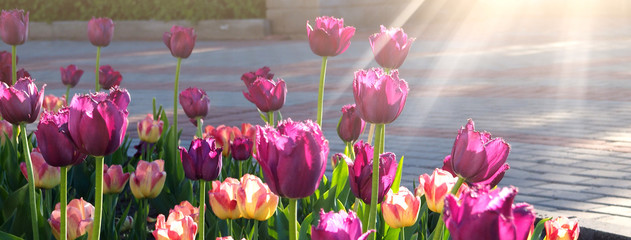 Beautiful purple and pink tulips blooming at the park