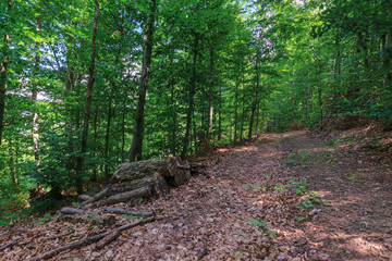 path through primeval beech forest. beautiful summer scenery. abandoned old logs among the fallen foliage