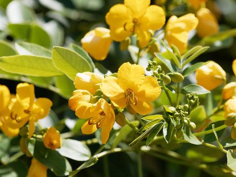 Rameaux et fleurs jaune doré de séné d'alexandrie | Senna alexandrina