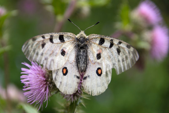Butterfly Parnassius apollo sitting on a thistle flower