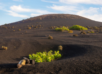 Vineyards of La Geria, Lanzarote. The most unusual vineyards in Europe. Vine grows on the slopes of volcanoes directly on volcanic ash.