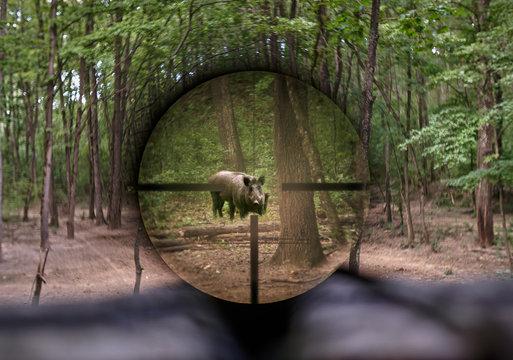 Wild hog seen through rifle scope