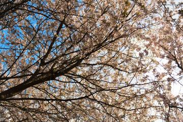 White wild cherry blossom