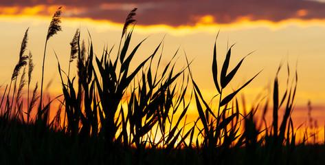 Foto op Canvas Meloen Silhouette of bulrush on sunset background
