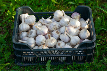 harvested garlic in plastic box on grass
