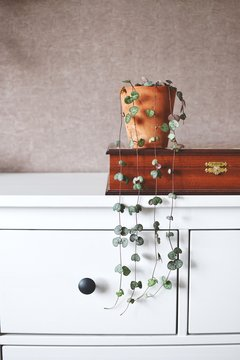 Ceropegia woodii stands on a white dresser in a terracotta pot
