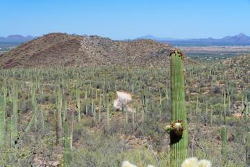 Saguaro cactus in Saguaro National Park