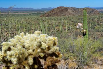 Cholla Cactus in Saguaro National Park