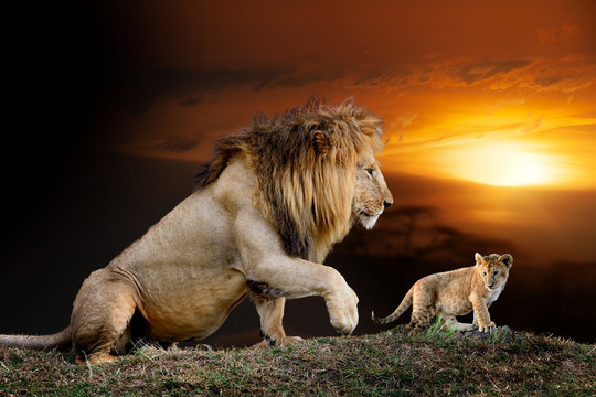 Male big lion and cub on savanna landscape background and Mount Kilimanjaro at sunset