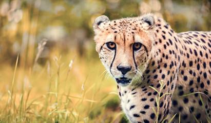 Cheetah looking alerted during hunting