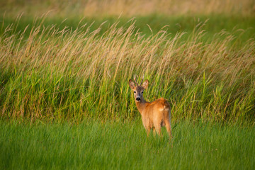 In de dag Ree Roe deer buck on a field