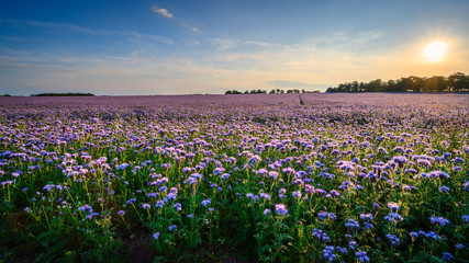 Field of Phacelia in Northumberland, a quick growing green manure crop which attracts insects and bees, seen here near the Northumberland coastline