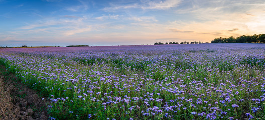 Panoramic Field of Phacelia, a quick growing green manure crop which attracts insects and bees, seen here near the Northumberland coastline