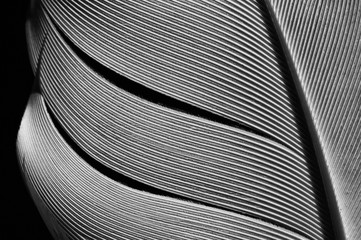 Fragment of bird's feather, close-up. Black and white.