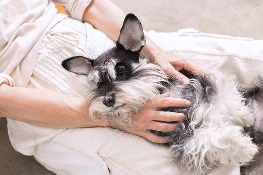 Cute dog, Miniature Schnauzer, cuddles in the woman's lap