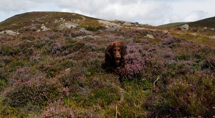 A dog runs through heather on the Rottal Moor on the opening day of the Grouse shooting season, Kirriemuir, Scotland