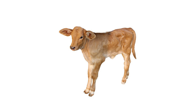 Three-month-old calf, light brown, clean white sky, isolated