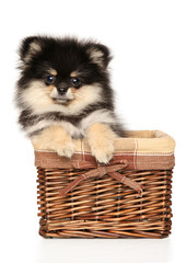 Pomeranian Spitz puppy in wicker basket