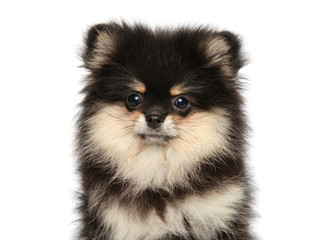 Close-up portrait of a Spitz puppy