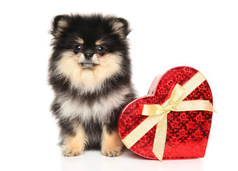 Spitz puppy with red heart on white background