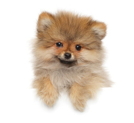 Happy Zwerg Spitz puppy above white banner