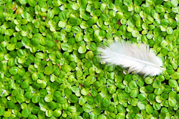 Wall Mural - close up of feather on fresh duckweed background.