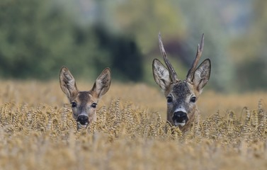 roebuc with roe during mating season. Wildlife scene from nature. Roebuck in the cornfield.
