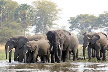 African elephants in Malawi