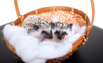 Small African hedgehogs lie in a basket and eat larvae