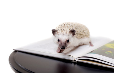 Little African hedgehog on a white background on a book