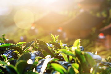 Beautiful sunrise shining on Tea leaves in tea plantations on the mountain in Thailand