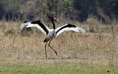 Saddle bill Stork dancing