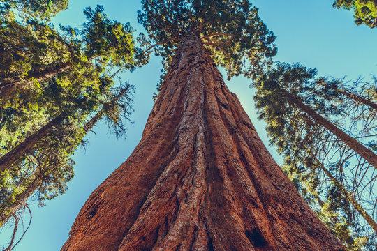 Giant redwood pines sequoia trees, Sequoia National Park, California, USA