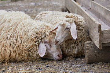 Two sheep are dozing on the farm