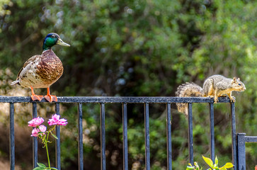 Mallard duck watches a squirrel, both standing on backyard fence.