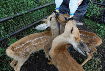 A zookeeper feeds Korzhik, Rogalik and Keksik, orphaned roe deer fawns, at the Royev Ruchey zoo in Krasnoyarsk