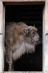 A European bison stands in a stable at the Royev Ruchey zoo in Krasnoyarsk