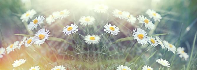 Photo sur Plexiglas Marguerites Beautiful daisy flower in meadow, beautiful nature, beauty in nature
