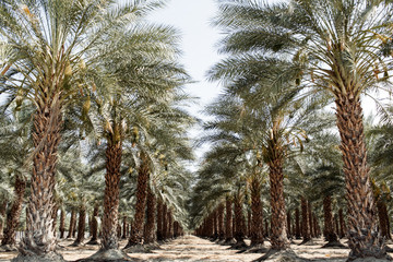 Date Trees in the desert