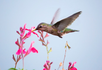 """Hummingbird.  It is the smallest bird on the globe. This is one of the most beautiful creations of nature. It is called """"Topaz Hummingbird"""", """"emerald neck"""","""" flying amethyst"""" and """"fire Topaz""""."""