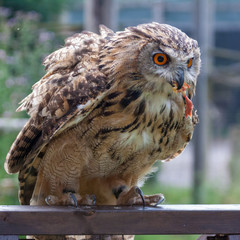 Eurasian Eagle-Owl (Bubo bubo) being rewarded with a chick's leg