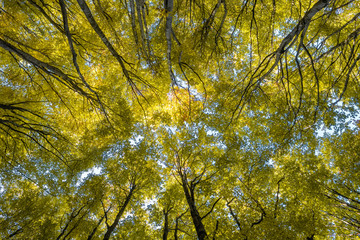 Looking up the trees in autumn forest